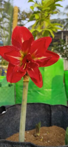 Amaryllis bulbs Mix color 5 bulbs pack color not confirm photo review