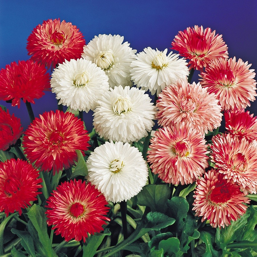 Seed flower daisy bellis monstrosa double mix seeds 30 seeds seed flower daisy bellis monstrosa double izmirmasajfo Image collections