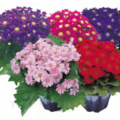 cineraria early perfection
