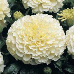 marigold white