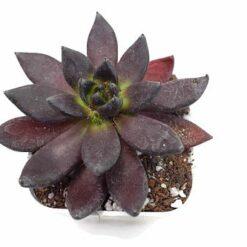 Echeveria black