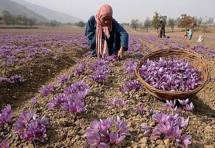 Saffron Bulbs Kesar buy online at reasonable price at ...Kashmiri Saffron Bulbs