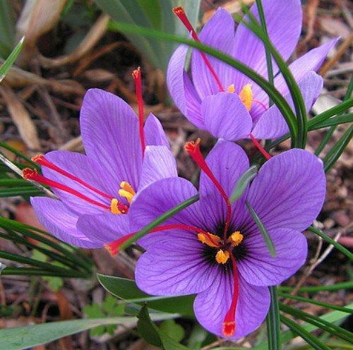 Saffron Bulbs Kesar buy online at reasonable price a