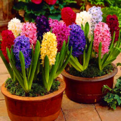 buy hyacinth bulbs online india