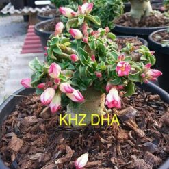 Adenium KHZ DHA
