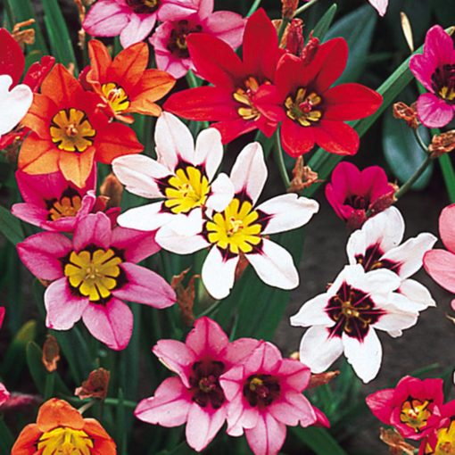 Sparaxis Flower bulbs