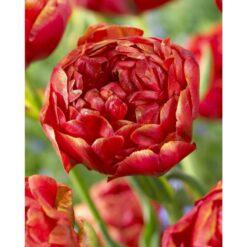 Tulip bulb Red