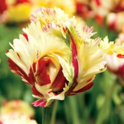 Tulip Texas flame