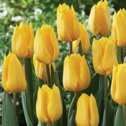 Tulip Yellow Bulb