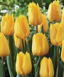 Tulip Yellow Bulb