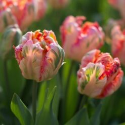 tulips peacock salmon