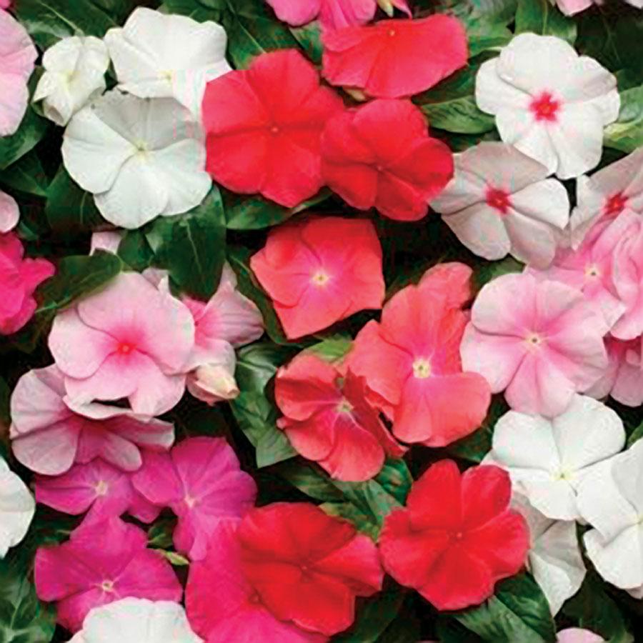 Vinca Rosea Hybrid flower seeds mix color - Seedsnpots