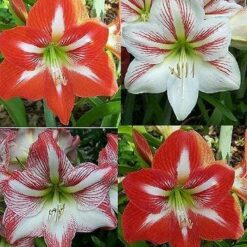 Amaryllis Dutch flower bulbs