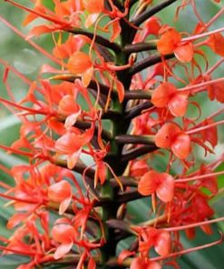 Ginger lily red