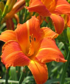 Day lily bulb