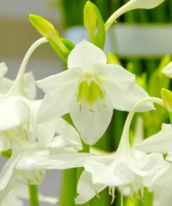 eucharist lily