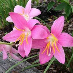 Rain lily bulbs