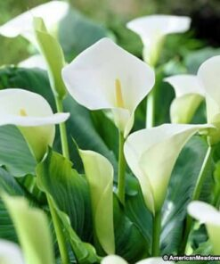 Calla lilly White