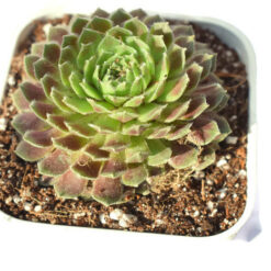 sempervivum sprite