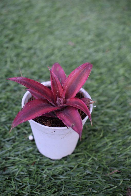 Cryptanthus Succulent