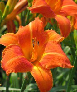 Day lily Orange bulb