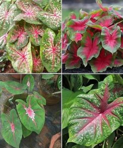 Caladium bulbs