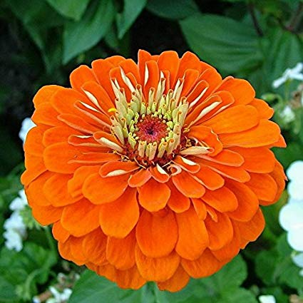 Zinnia Elegance Orange