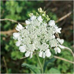 Anis herb Seeds
