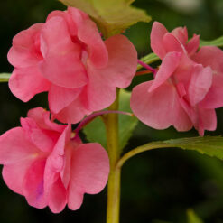 balsam rose seeds