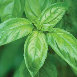 Basil Genovese herb seeds
