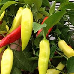 Sweet pepper hungarian wx10