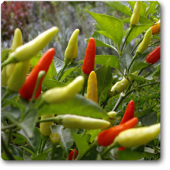 Hot Pepper os402