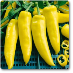 Pepper Hot yellow