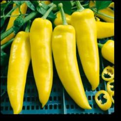 Pepper Hot yellow
