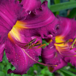 Day lily Purple