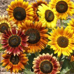 Sunflower Music box
