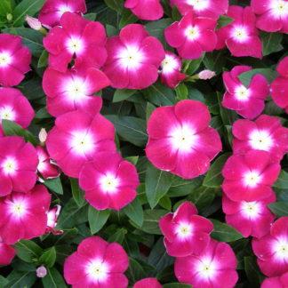 Vinca pink rosea hybrid seeds buy at seedsnpots vinca pink mightylinksfo