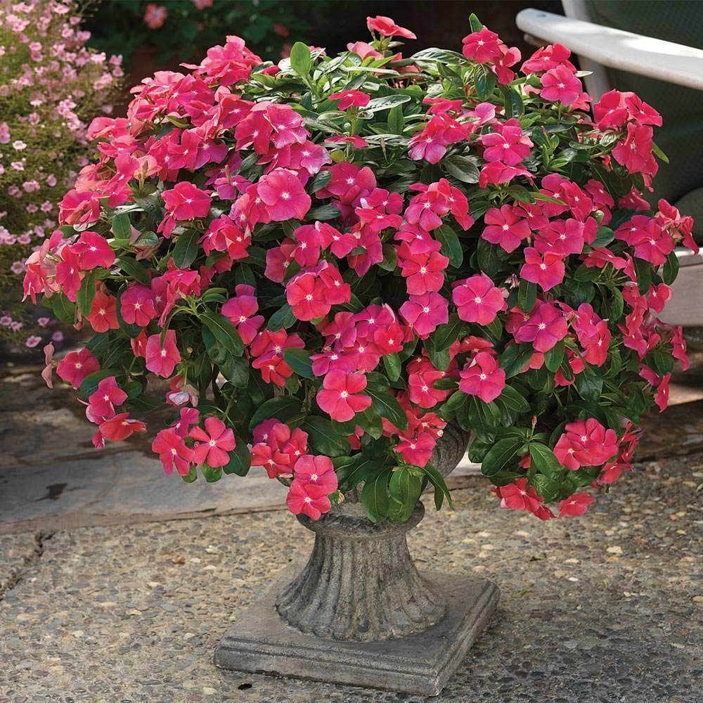Vinca Trailing rosea Hybrid seeds ,buy at www.seedsnpots.com