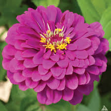 Zinnia Elegance purple