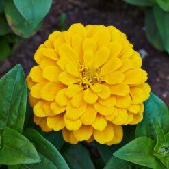 Zinnia Elegance yellow