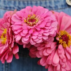 Zinnia Elegance Pink