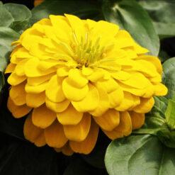 Zinnia Tall Yellow