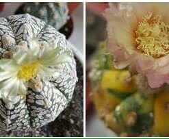 Astrophytum asterias cv. SUPERKABUTO