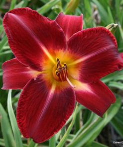 Day lily Bio