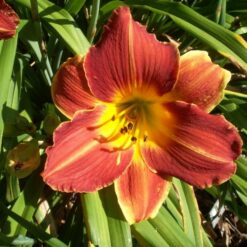 Day lily Brown