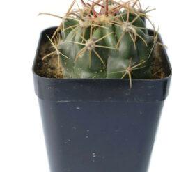 Ferocactus Horridus cactus