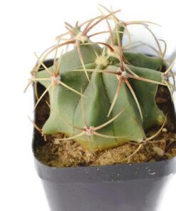 Ferocactus Electracanthus cactus