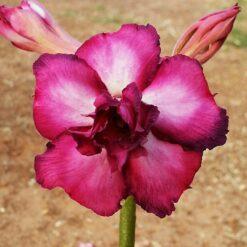 adenium live plant