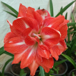 Amaryllis double