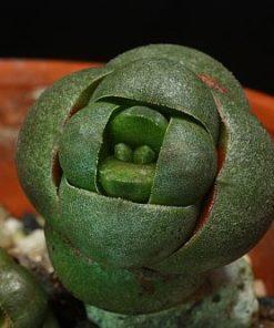 Crassula Columnaris Seeds